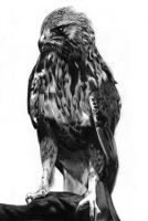 Hawk by Regius