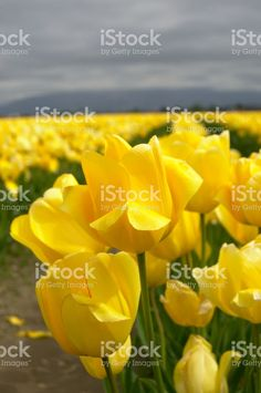 Photo about A field of yellow tulips. Image of floral, springtime, blossoms - 84396597 Tulip Fields, Yellow Tulips, Spring Time, Royalty Free Stock Photos, Rose, Blossoms, Floral, Flowers, Plants