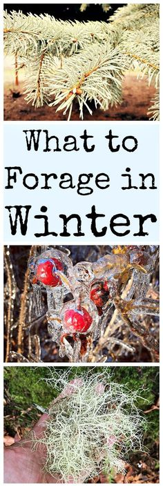 There are many things to forage in winter! Here are over 30 edible and medicinal plants.