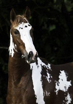 Horse / Showgirl Glitz (vickaf)