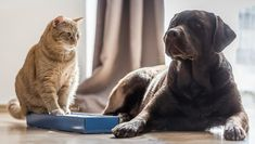 Despite the cliché about fighting like cats and dogs, it's perfectly possible for the two species to live happily under one roof. Introducing A New Dog, Cat Hair, All About Cats, Halloween Cat, How To Introduce Yourself, Cat Lovers, Labrador Retriever, Dog Cat, Two By Two