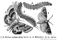 Illustration showing an Alabama argillacea and a heliothis and their larvae