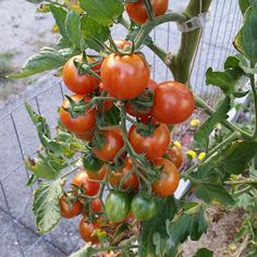 Pink bumble bee tomatoes are doing great again this year. The plant is a good six feet tall and covered in tomatoes. Hard to get a good shot of them all! by ambersvictorygarden