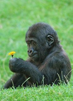 Baby gorilla holding a dandelion