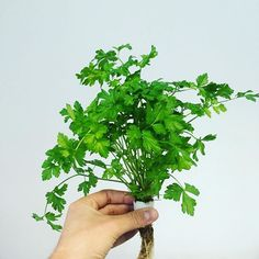 Because we all love the classics : enjoy the freshest #parsley for all you #healthy #dishes 😋🌱 #cooking #healthyfood #basile #culteev #homegrown #gardening #faitmaison