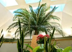 In addition to large silk palm trees, photos of small and traditional palm varieties are featured in this blog. Commercial Silk Int'l manufactures an array of choices, and if you are wanting an artificial palm for your interior space, we can help find the right plant for you. http://www.commercialsilk.com/toolkit/post/spirited-artificial-palm-trees.aspx