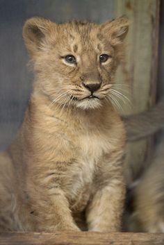 Baby lioness Naui by Sander van der Wel, via Flickr