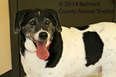 "UNLISTED. ""Molly"" Dalmatian & Beagle Mix • Senior • Female • Medium. Belmont County Animal Shelter Saint Clairsville, OH. Darling Molly was adopted 11 years ago & recently returned by her owner who had to move & couldn't take Molly. Her owner was terribly upset & did not want to leave her girl behind. We told her we would do our very best to find her a home where she will be equally loved and cared for. Molly is a sweet, spunky girl who only shows age on her face--she's still quite active!"
