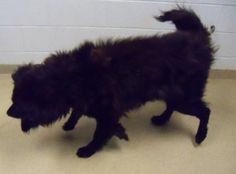 Adopt Bud, a lovely 12 years Dog available for adoption at Petango.com.  Bud is a Chow Chow / Mix and is available at the Wayne County Humane Society, Inc. in WOOSTER, OH
