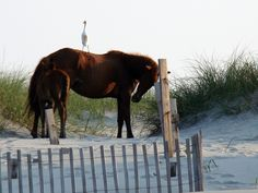 Horse and Heron in Corolla NC. Corolla Wild Horses on the Outer Banks of NC.Corolla Wild Horses Outer Banks NC. This was such a cool place.  Horses really do run wild on the beach and through yards.  We only saw a few, we went at not a very good time for them to normally come out.  We'll be back though.