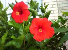 Hibiscus, blood red!