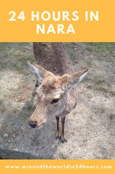 Do you want to spend 24 hours in Nara, Japan? We will dine on Japanese food, meet the sacred deer, and visit the most interesting temples and shrines. Asia Travel, Japan Travel, Travel Usa, Japan With Kids, Cheap Places To Visit, Cheap Travel Insurance, Backpacking Asia, Nara, Amazing Things