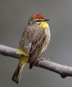 The Palm Warbler (Setophaga palmarum) is a small songbird of the New World warbler family. Palm Warblers breed in open coniferous bogs and edge east of the Continental Divide, across Canada and the northeastern United States. These birds migrate to the southeastern United States, the Yucatán Peninsula, islands of the Caribbean, and eastern Nicaragua south to Panama to winter.