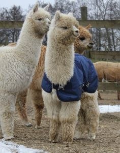 Really? Is that Alpaca from California? Def not from Michigan, it be short weather.