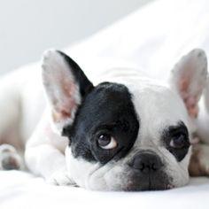 I love French Bulldogs :)