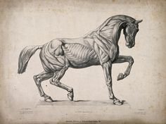 Anatomical engraving of a horse. The Wellcome Library, CC-BY