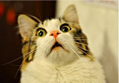 We have comprised a list of 20 funny shocked cat memes for your amusement. Take a look and I guarantee at least one of these will make you laugh. I Love Cats, Cute Cats, Funny Cats, Funny Animals, Cute Animals, Funny Shit, Animal Memes, Funniest Animals, Animal Humor