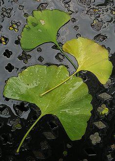 Ginkgo Leaves by Steve Rosenbach, via Flickr