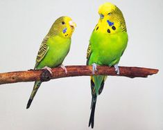 Australian and English Budgie~ Puck Sr. and Ariel; Puck Sr. had NO IDEA he was half Ariel's size and alpha-ed around his whole lifw.