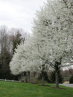 For along the fence on west side of yard- The Aristocrat Flowering Pear tree, Pyrus calleryana 'Aristocrat', is a beautiful tree that is attractive in all four seasons. Zone 4b-8. Height 25-40