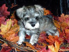 Ranked as one of the most popular dog breeds in the world, the Miniature Schnauzer is a cute little square faced furry coat. It is among the top twenty favorite Toy Schnauzer, Miniature Schnauzer Puppies, Cute Puppies, Cute Dogs, Dogs And Puppies, Doggies, Best Dogs For Families, Family Dogs, Animals And Pets