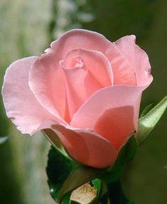 Beautiful Pink Rosebud   Dreaming Gardens