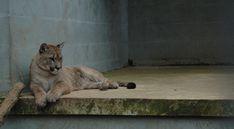 #big cat #concrete blocks #concrete floor #mountain lion #predator #zoo