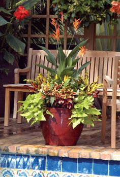 Tropical planting includes heliconia as the tall centerpiece, bright-colored 'Mammey' crotons tucked in along the back edge, coleus planted in front and the sweet potato vine cascading down the side of the pot.