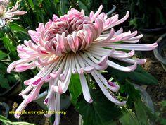 picture of purple chrysanthemum flower