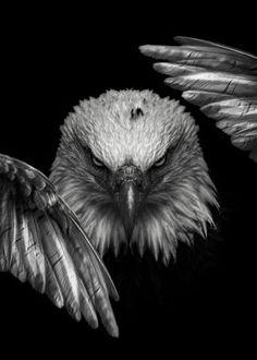 Eagle Wing Tattoos, Eagle Chest Tattoo, Eagle Images, Eagle Pictures, Eagle Artwork, Aigle Animal, Wild Eagle, Eagle Face, Eagle Wallpaper