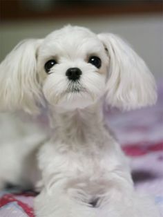 Cutest Maltese groom I've ever seen! This sweet Maltese looks like a Poodle 😊❤. Havanese Dogs, Maltese Dogs, Yorkies, Bichon Dog, Samoyed Dog, Cute Puppies, Cute Dogs, Teacup Puppies, Dog Forum
