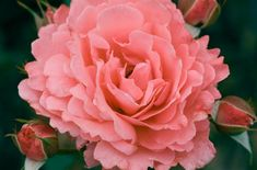 Roses that grow best. Are roses easy to grow? When to buy a rose bush. What is the prettiest rose? World's prettiest flower this year. Do floribunda roses bloom all summer? How to keep a rose bush blooming. Roses with the most fragrance. Floribunda Roses, Shrub Roses, Pretty Roses, Beautiful Roses, Romantic Roses, Weeks Roses, Red Climbing Roses, Best Roses, Fragrant Roses