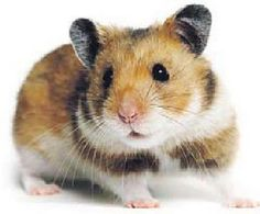 Treat recipes for your hamster...