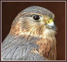 #Merlin #Hawk #BirdsofPrey #BirdofPrey #Bird of Prey
