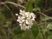 home site lists tons of TN wildflowers Red Chokeberry Aronia arbutifolia / Rose Family April 15, 2006 I found this plant blooming at the Lilly Bluff ...