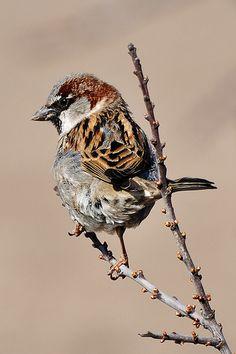 House sparrow Tropical Birds, Colorful Birds, Sparrow Bird, House Sparrow, Bird Artwork, Funny Birds, Rare Birds, Bird Drawings, Bird Pictures