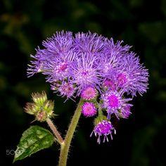 purple flower / 500px
