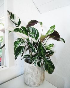 Houseplants and herb gardens are well-known as common plants that are grown indoors. But they are not the only plants that can be grown indoors. Cool Plants, Green Plants, Tropical Plants, Planting Succulents, Planting Flowers, Plant Aesthetic, Plants Are Friends, Garden Nursery, Interior Plants