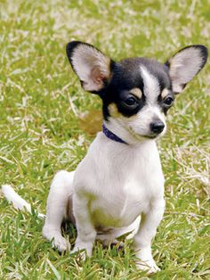 Since it's #puppyfriday, here's an adorable chihuahua.