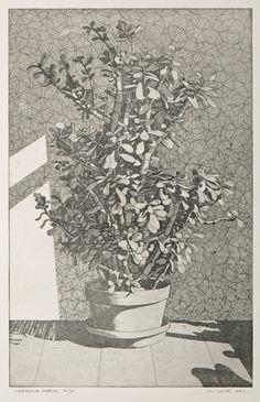 Crassula Ovata  Money Plant  Etching Print by williamwhiteart, $95.00