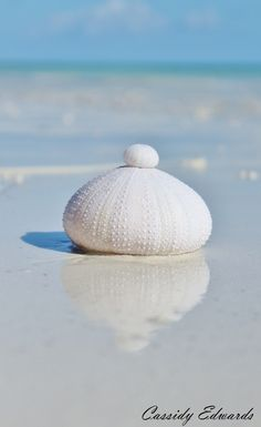 Beach Decor, Sea Shell Print, Sea Urchin Photography.