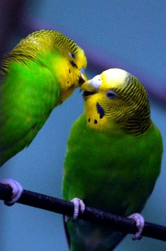Parakeet kiss  My first pet was a parakeet named Charlie. He was much loved by my family