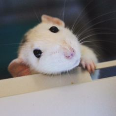 Cute rats https://www.facebook.com/groups/122135531281484/permalink/560424590785907/