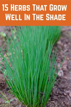 Got a shady spot in your garden? These herbs thrive in shady spots so none of your garden has to go to waste. Veg Garden, Edible Garden, Lawn And Garden, Vegetable Gardening, Organic Gardening, Shade Flowers, Shade Plants, Potted Plants, Indoor Plants