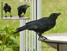 American Crow by ritchey.jj, via Flickr