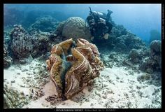 Giant Clam and Diver