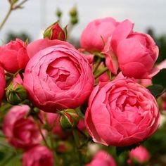 Pomponella Fairy Tale rose.