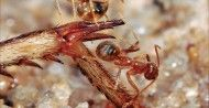 Ants build rafts on the backs of their young / AAAS Science Now