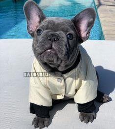 Balou Blue's Baloubies. French Bulldog Stud & his puppies. A Team. French Bulldog puppies for sale. Balou Blue Frenchie Family in Naples Florida. Grey French Bulldog Puppy, French Bulldog Drawing, French Bulldogs, Super Cute Puppies, Cute Dogs, Bulldog Puppies For Sale, Baby Pugs, Puppy Gifts, Dog Socks