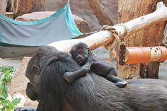 Ajabu and mother Shinda  Zoo Praha